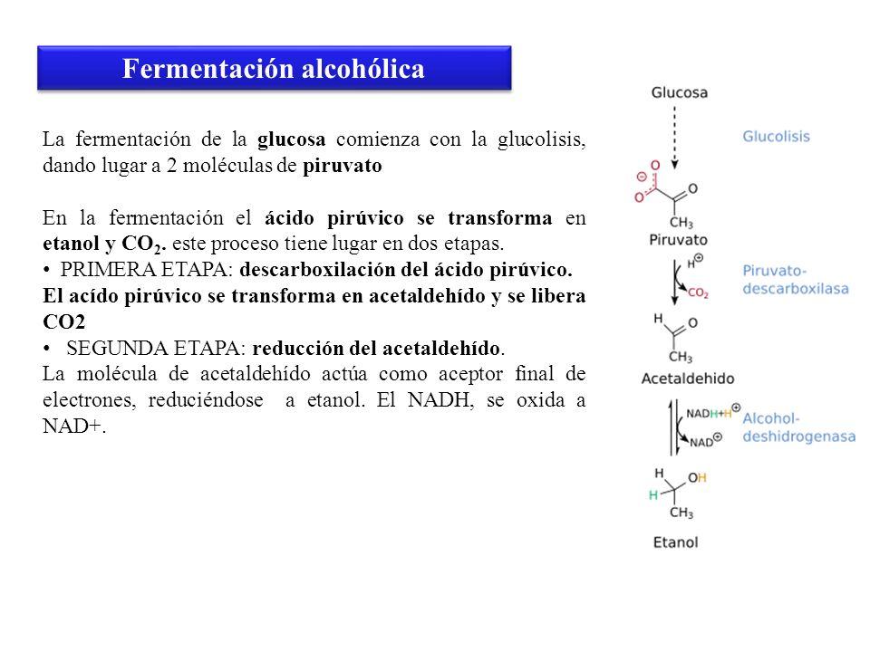 La fermentación de la glucosa comienza con la glucolisis, dando lugar a 2 moléculas de piruvato En la fermentación el ácido pirúvico se transforma en
