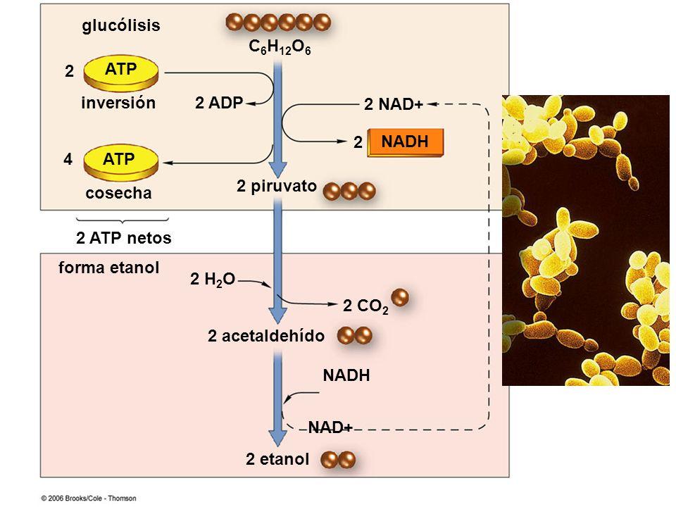 C 6 H 12 O 6 ATP NADH 2 acetaldehído NADH 2 NAD+ 2 2 ADP 2 piruvato 2 4 cosecha inversión glucólisis forma etanol 2 ATP netos 2 etanol 2 H 2 O 2 CO 2