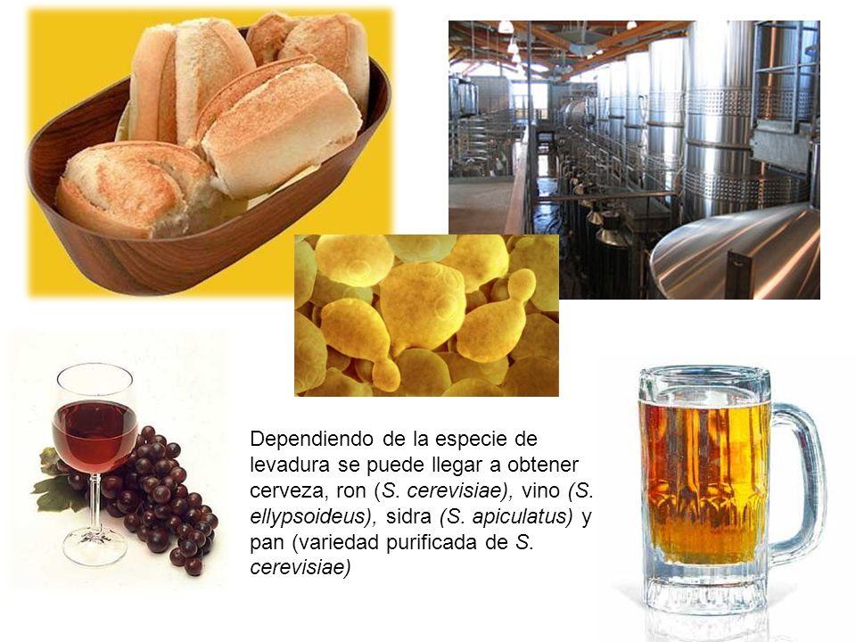 Dependiendo de la especie de levadura se puede llegar a obtener cerveza, ron (S. cerevisiae), vino (S. ellypsoideus), sidra (S. apiculatus) y pan (var