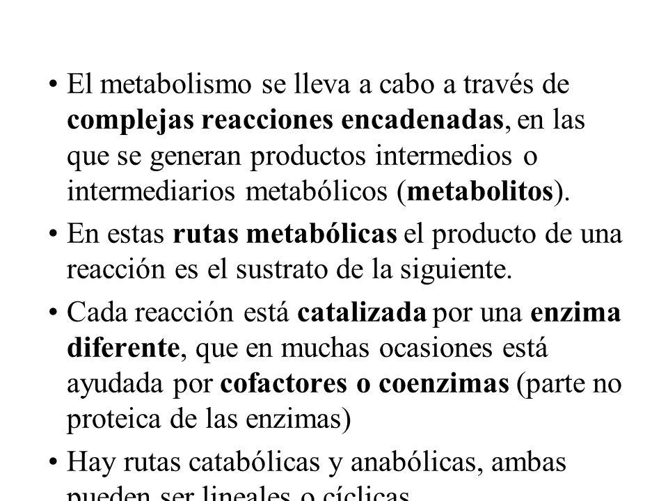 El metabolismo se lleva a cabo a través de complejas reacciones encadenadas, en las que se generan productos intermedios o intermediarios metabólicos