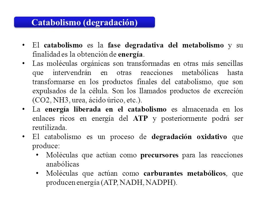 El catabolismo es la fase degradativa del metabolismo y su finalidad es la obtención de energía. Las moléculas orgánicas son transformadas en otras má