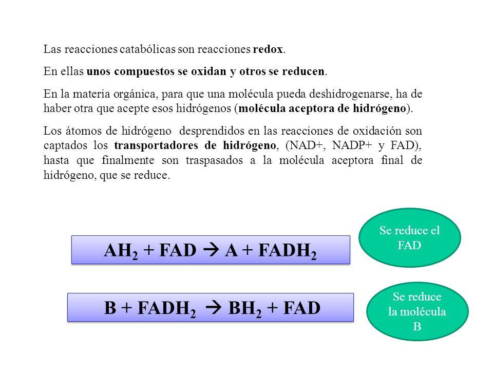 C 6 H 12 O 6 ATP NADH 2 lactato electrones, hidrógeno froma NADH 2 NAD + 2 2 ADP 2 piruvato 2 4 cosecha inversión glucólisis lactate fermentation 2 ATP netos Fig.