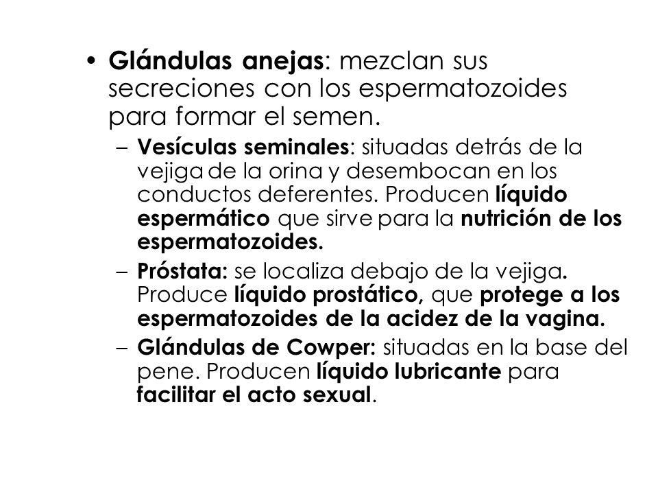 Glándulas anejas : mezclan sus secreciones con los espermatozoides para formar el semen. – Vesículas seminales : situadas detrás de la vejiga de la or