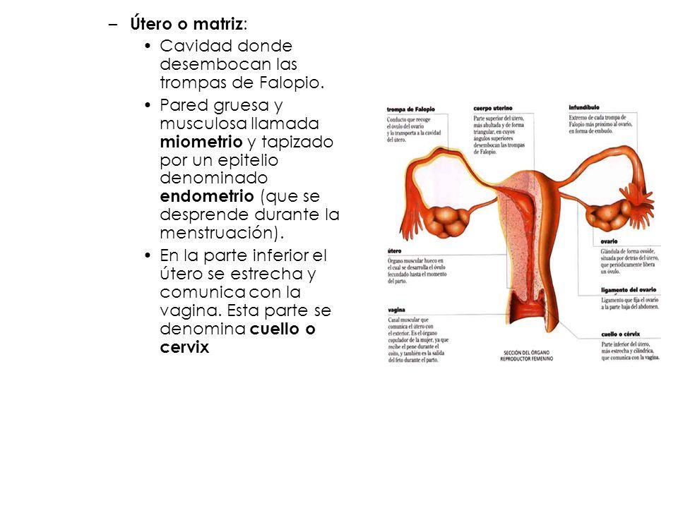 – Útero o matriz : Cavidad donde desembocan las trompas de Falopio. Pared gruesa y musculosa llamada miometrio y tapizado por un epitelio denominado e