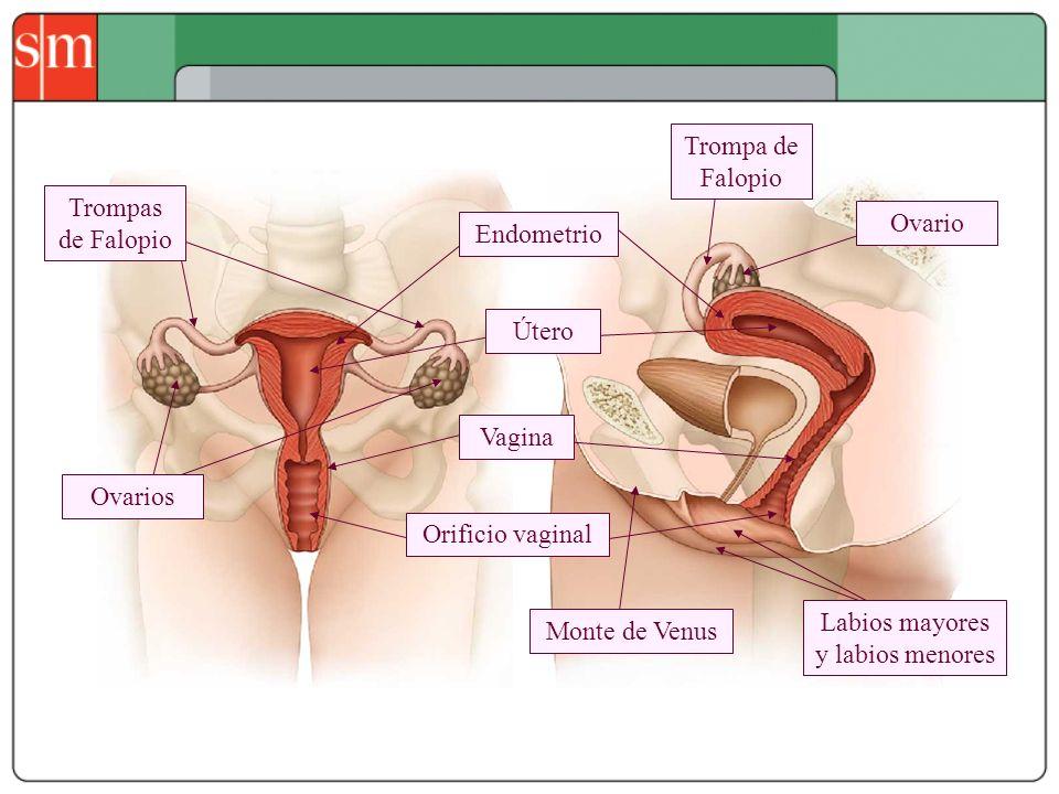 Orificio vaginal Endometrio Vagina Útero Trompa de Falopio Trompas de Falopio Ovario Ovarios Monte de Venus Labios mayores y labios menores