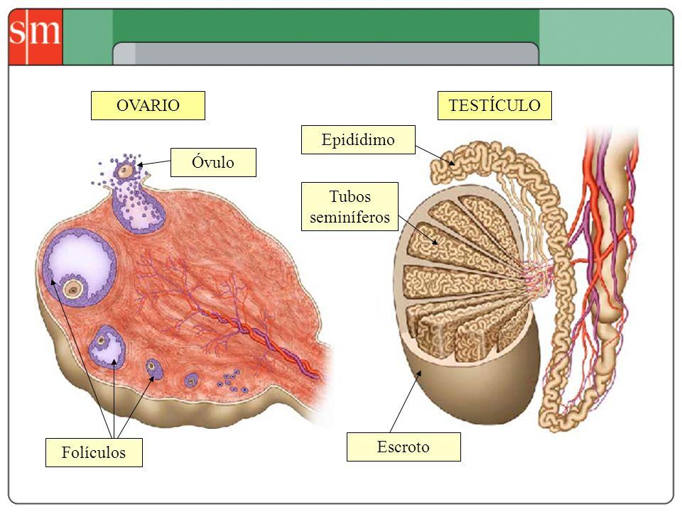 OVARIOTESTÍCULO Tubos seminíferos Epidídimo Escroto Folículos Óvulo