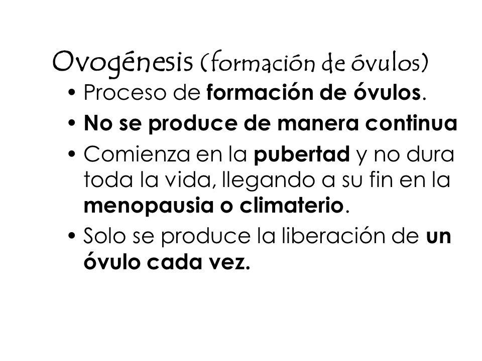 Ovogénesis (formación de óvulos) Proceso de formación de óvulos. No se produce de manera continua Comienza en la pubertad y no dura toda la vida, lleg