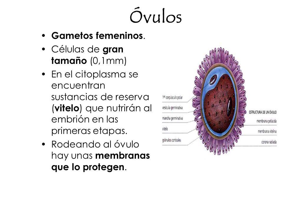 Óvulos Gametos femeninos. Células de gran tamaño (0,1mm) En el citoplasma se encuentran sustancias de reserva ( vitelo ) que nutrirán al embrión en la