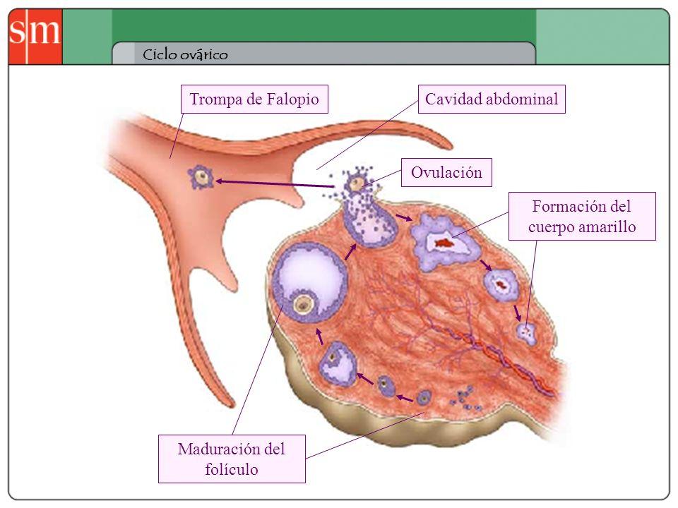 Ciclo ovárico Trompa de Falopio Formación del cuerpo amarillo Maduración del folículo Ovulación Cavidad abdominal