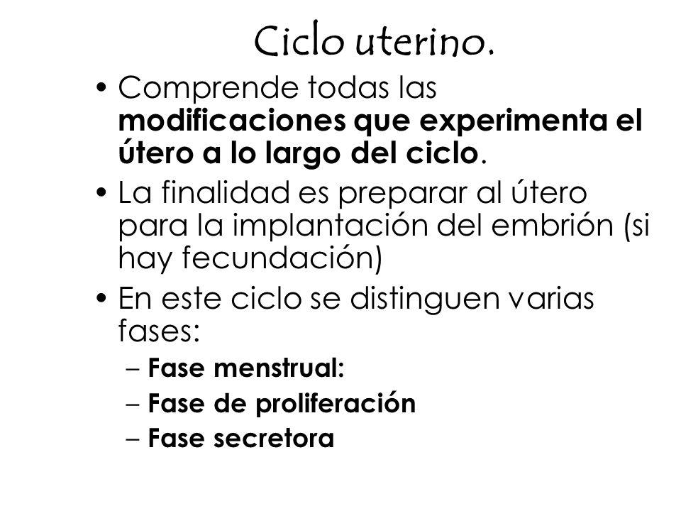 Ciclo uterino. Comprende todas las modificaciones que experimenta el útero a lo largo del ciclo. La finalidad es preparar al útero para la implantació