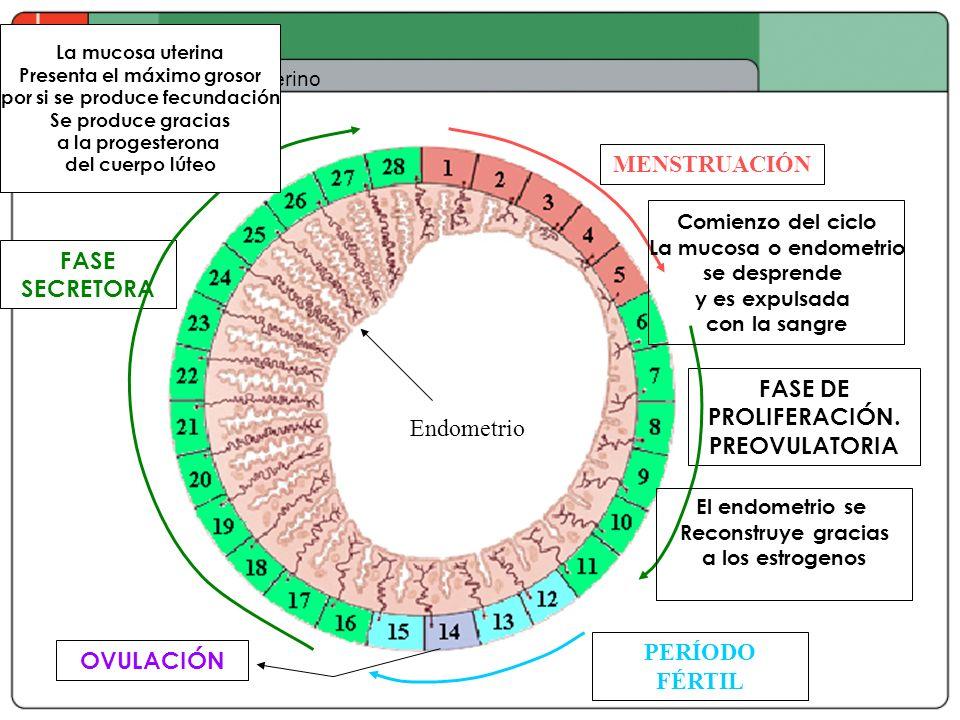 Ciclo uterino Endometrio MENSTRUACIÓN PERÍODO FÉRTIL FASE DE PROLIFERACIÓN. PREOVULATORIA FASE SECRETORA OVULACIÓN Comienzo del ciclo La mucosa o endo
