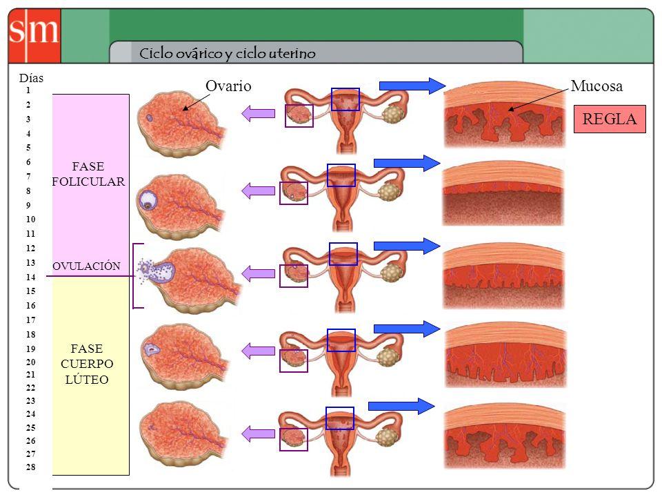 Ciclo ovárico y ciclo uterino REGLA FASE FOLICULAR FASE CUERPO LÚTEO 1 2 3 4 5 6 7 8 9 10 11 12 13 14 15 16 17 18 19 20 21 22 23 24 25 26 27 28 Días O