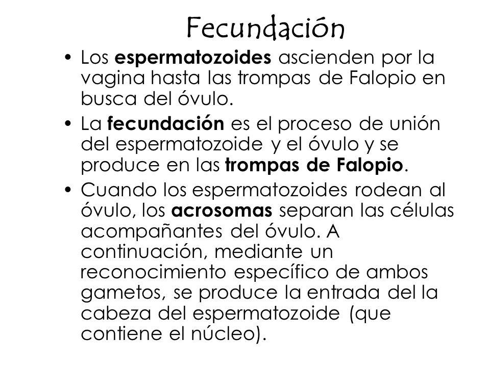 Fecundación Los espermatozoides ascienden por la vagina hasta las trompas de Falopio en busca del óvulo. La fecundación es el proceso de unión del esp