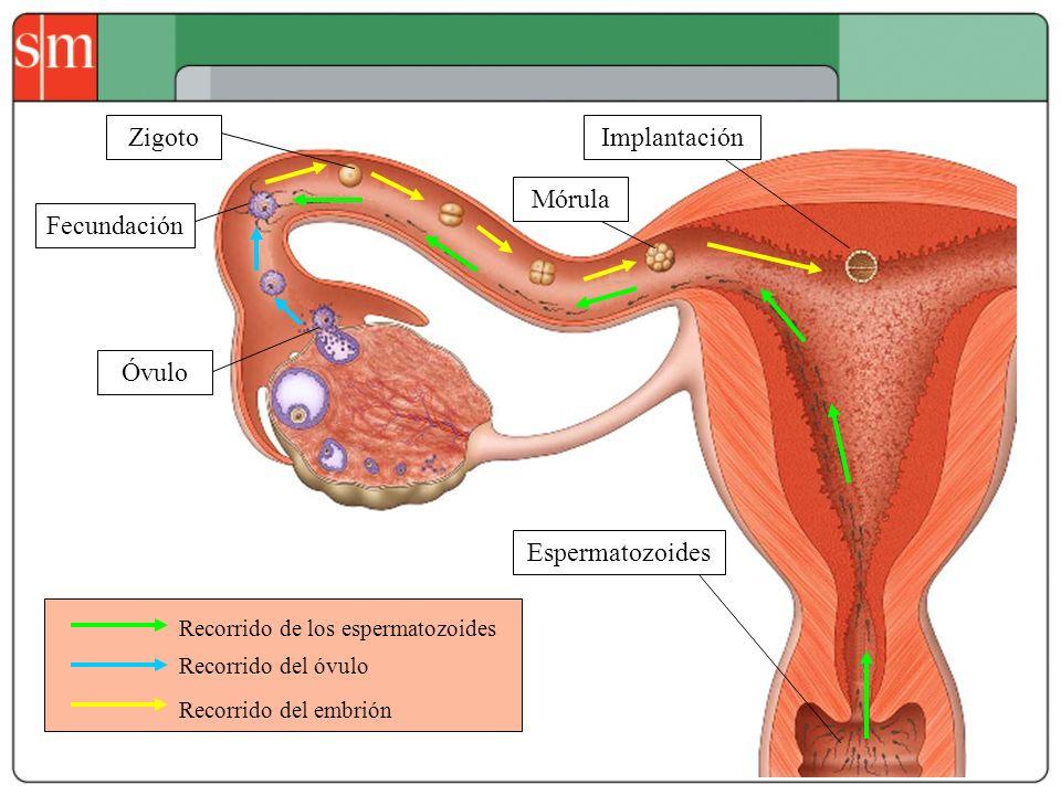 Recorrido de los espermatozoides Recorrido del óvulo Recorrido del embrión Mórula Zigoto Óvulo Espermatozoides Fecundación Implantación