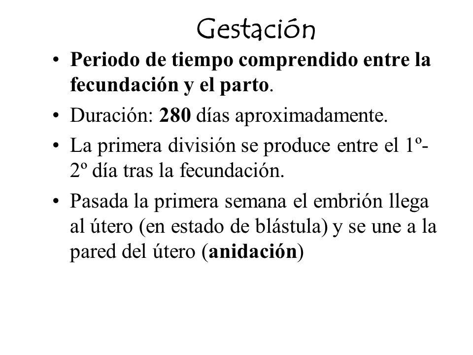 Gestación Periodo de tiempo comprendido entre la fecundación y el parto. Duración: 280 días aproximadamente. La primera división se produce entre el 1