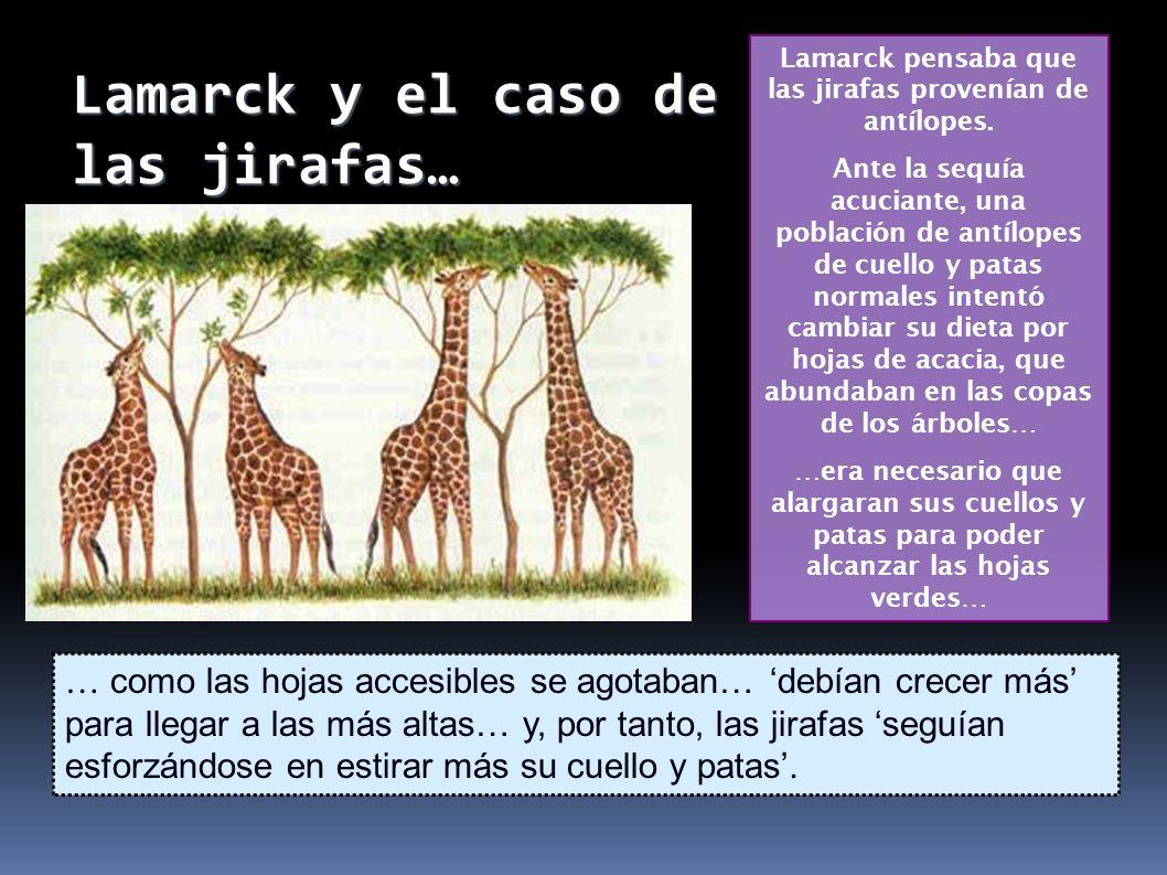 Lamarck y el caso de las jirafas… Lamarck pensaba que las jirafas provenían de antílopes. Ante la sequía acuciante, una población de antílopes de cuel