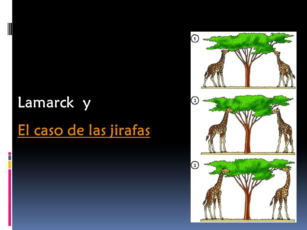 Lamarck y El caso de las jirafas El caso de las jirafas
