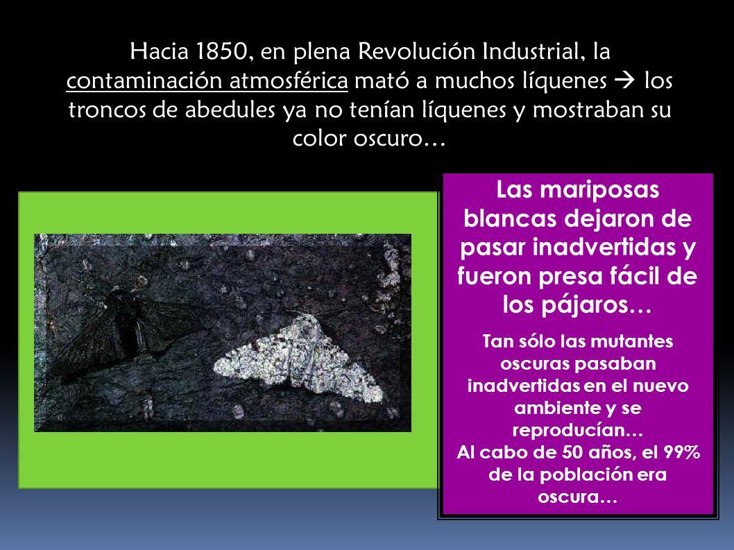 … Un siglo más tarde, la calidad ambiental mejoró y la contaminación desapareció de la zona… Los líquenes volvieron a aparecer sobre los abedules… y la situación volvió a cambiar… … De nuevo las mariposas blancas vuelven a ser mayoría!!