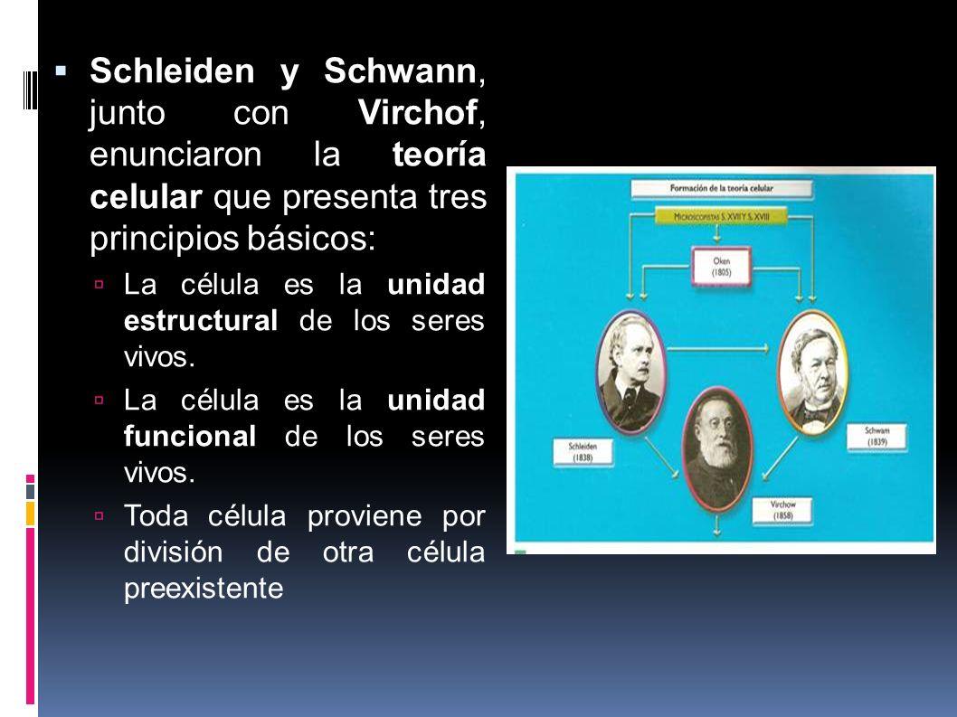 Schleiden y Schwann, junto con Virchof, enunciaron la teoría celular que presenta tres principios básicos: La célula es la unidad estructural de los s