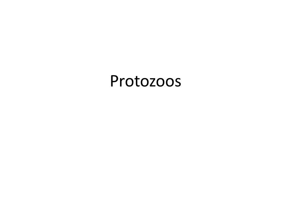 Organismos unicelulares eucarióticos, que carecen de pared celular y en general son móviles.