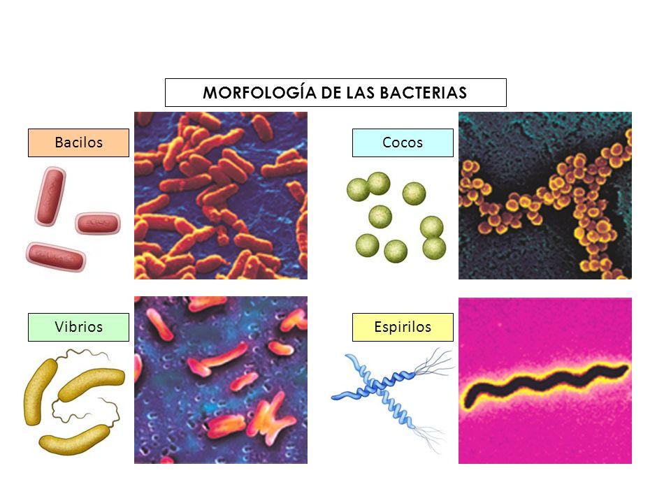 Virus Organismos acelulares, es decir, que no están formados por células.
