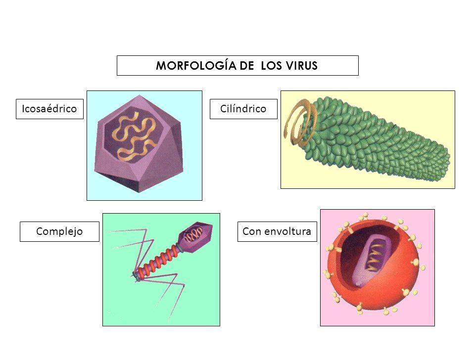 Hongos Organismos unicelulares o pluricelulares eucariotas Provocan enfermedades que en su conjunto se denominan micosis – Píe de atleta – Tiña – Candidiasis