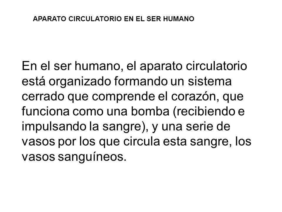APARATO CIRCULATORIO EN EL SER HUMANO En el ser humano, el aparato circulatorio está organizado formando un sistema cerrado que comprende el corazón,