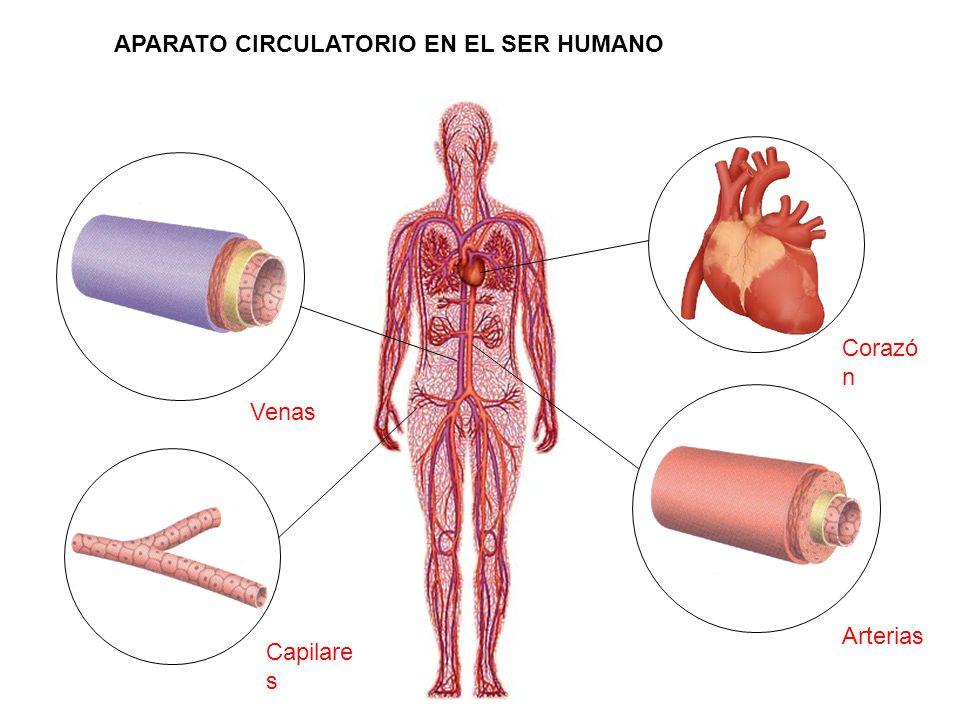 Corazó n Venas Capilare s Arterias APARATO CIRCULATORIO EN EL SER HUMANO