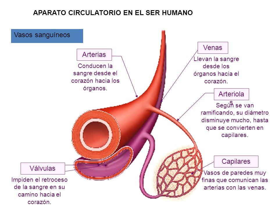 Capilares Arterias Venas Válvulas Conducen la sangre desde el corazón hacia los órganos. Según se van ramificando, su diámetro disminuye mucho, hasta