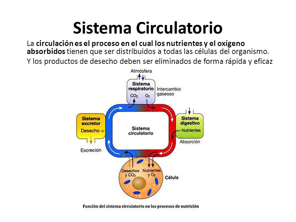 Sistema Circulatorio La circulación es el proceso en el cual los nutrientes y el oxígeno absorbidos tienen que ser distribuidos a todas las células de