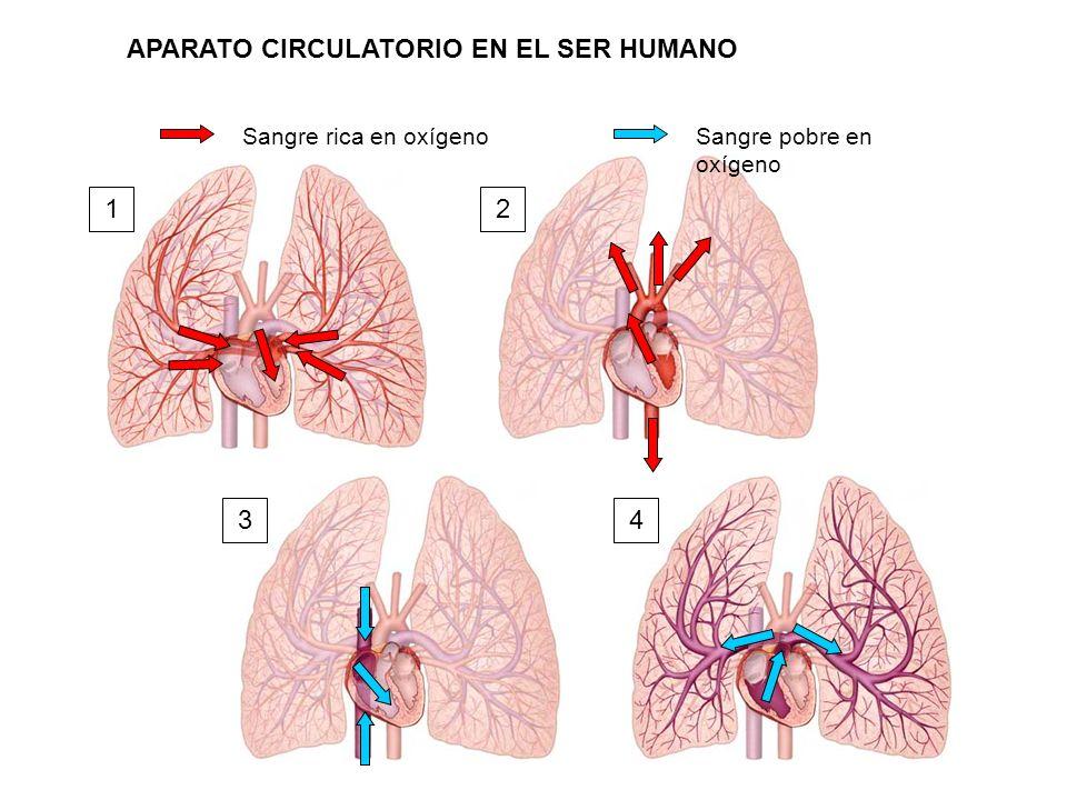 Sangre rica en oxígenoSangre pobre en oxígeno 12 34 APARATO CIRCULATORIO EN EL SER HUMANO