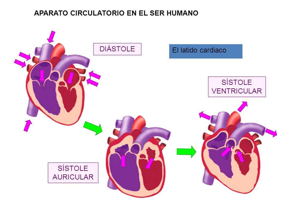 DIÁSTOLE SÍSTOLE AURICULAR SÍSTOLE VENTRICULAR El latido cardiaco APARATO CIRCULATORIO EN EL SER HUMANO