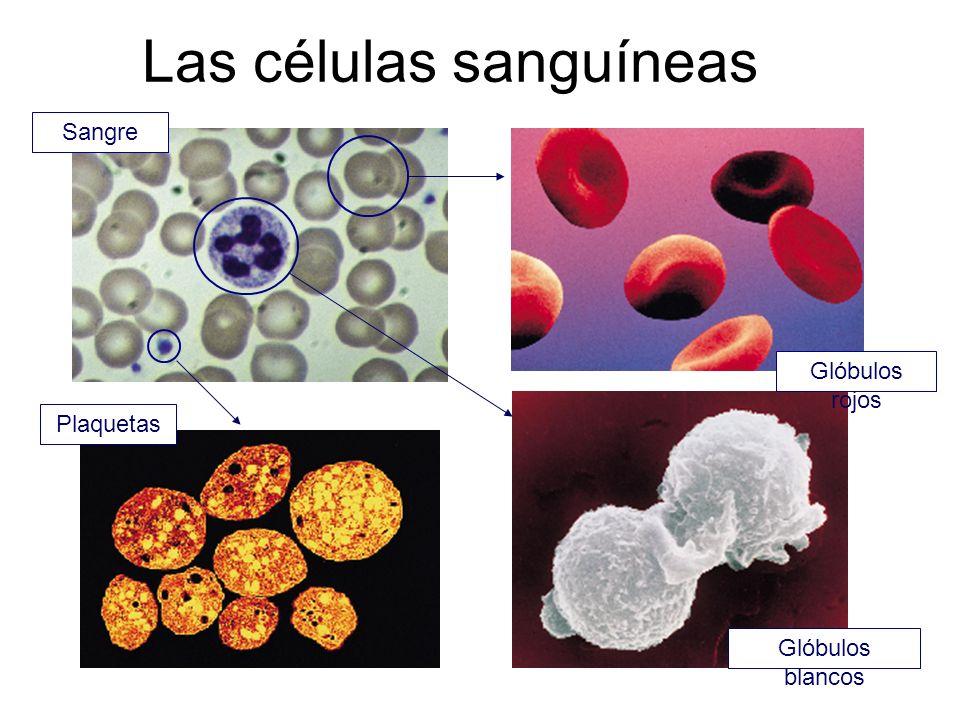 Las células sanguíneas Sangre Glóbulos rojos Glóbulos blancos Plaquetas