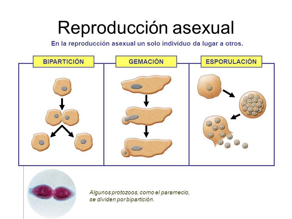 Dos tipos de reproduccion asexual que