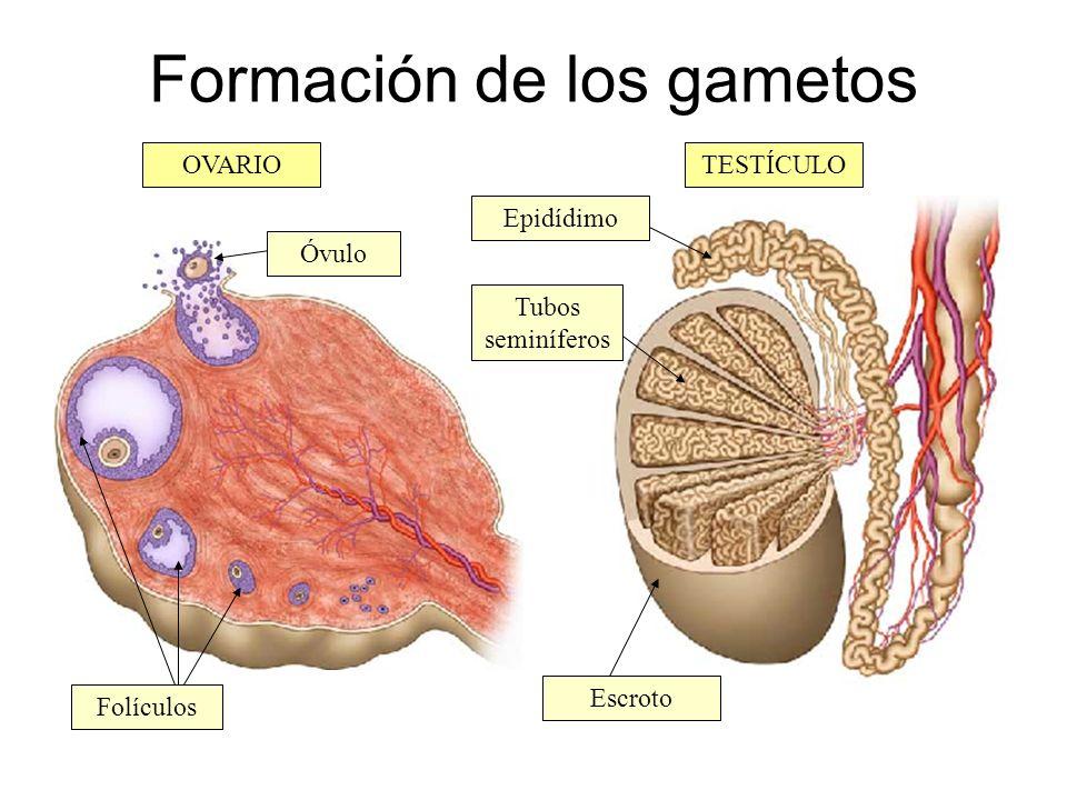Formación de los gametos OVARIOTESTÍCULO Tubos seminíferos Epidídimo Escroto Folículos Óvulo