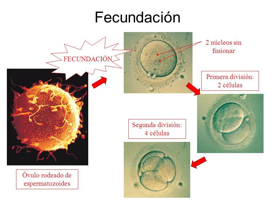Fecundación Primera división: 2 células Segunda división: 4 células 2 núcleos sin fusionar Óvulo rodeado de espermatozoides FECUNDACIÓN