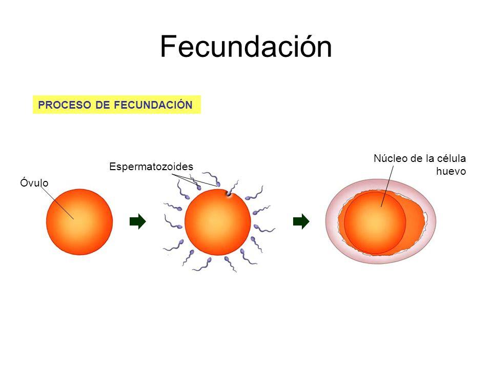 PROCESO DE FECUNDACIÓN Núcleo de la célula huevo Espermatozoides Óvulo Fecundación