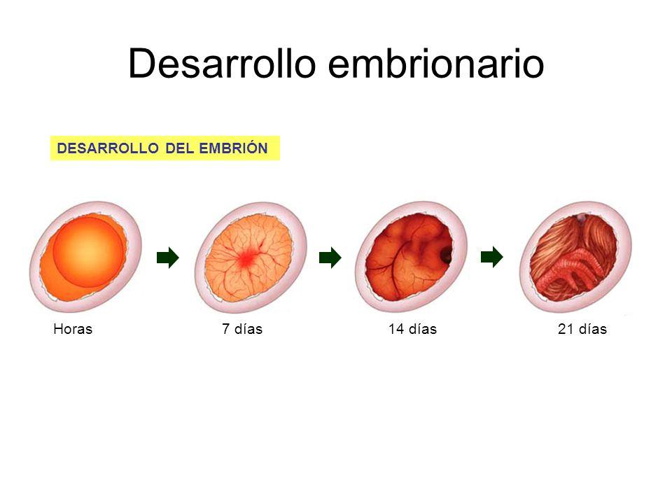 Desarrollo embrionario DESARROLLO DEL EMBRIÓN Horas7 días14 días21 días