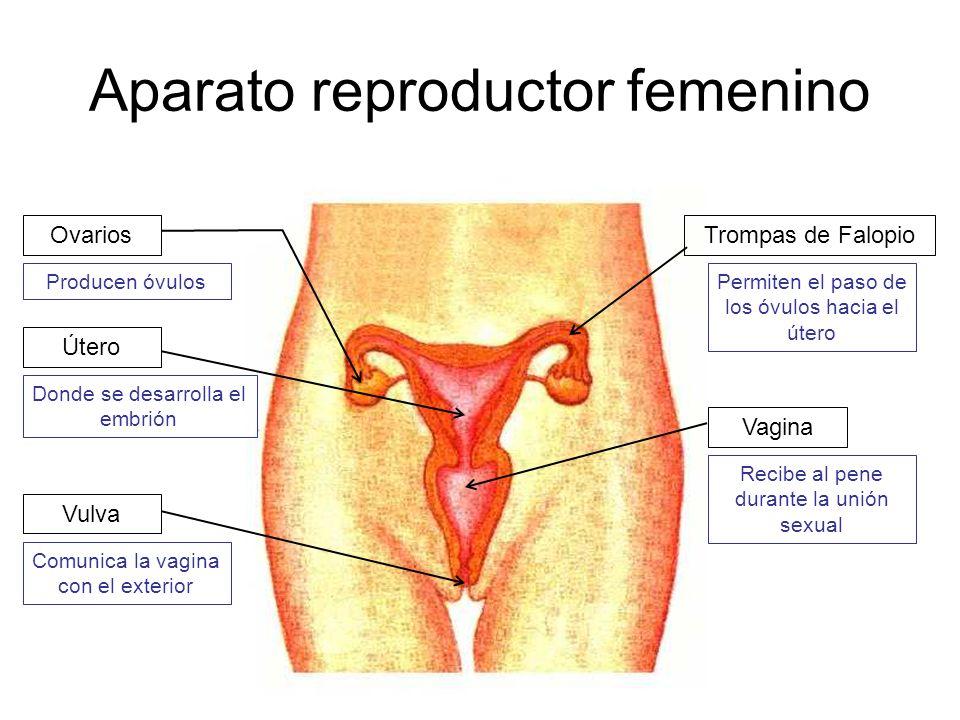 Aparato reproductor femenino Ovarios Vulva Vagina Útero Trompas de Falopio Producen óvulosPermiten el paso de los óvulos hacia el útero Donde se desar
