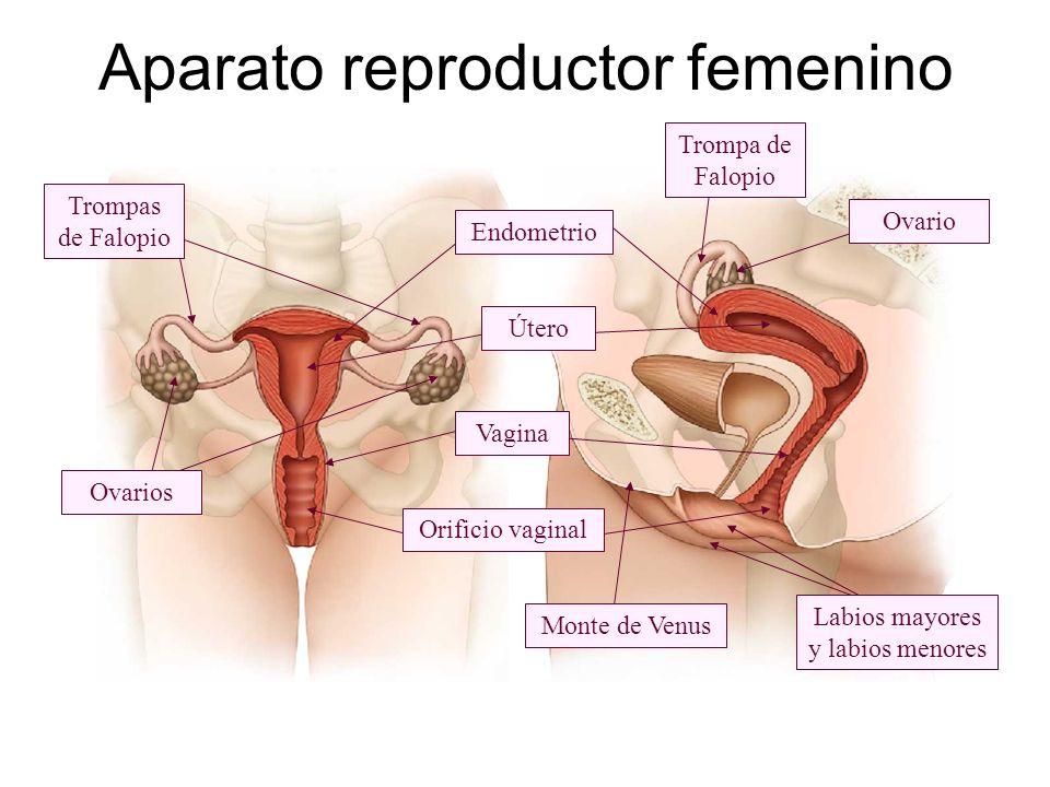 Orificio vaginal Endometrio Vagina Útero Trompa de Falopio Trompas de Falopio Ovario Ovarios Monte de Venus Labios mayores y labios menores Aparato re