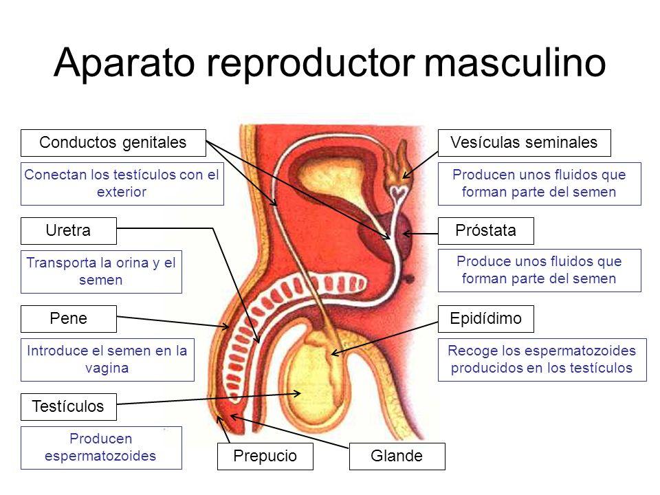 Aparato reproductor masculino Testículos Producen espermatozoides Conductos genitales Conectan los testículos con el exterior Uretra Transporta la ori