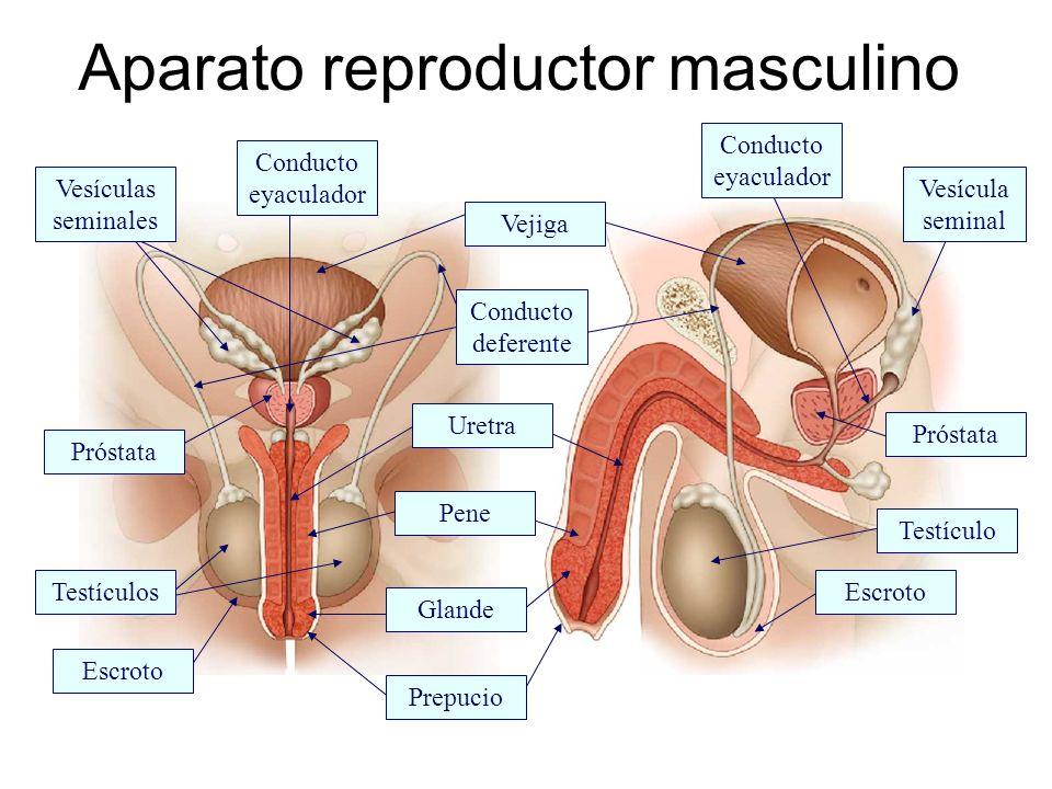 Vejiga Uretra Conducto deferente Glande Prepucio Pene Próstata Testículo Testículos Escroto Vesículas seminales Vesícula seminal Conducto eyaculador A