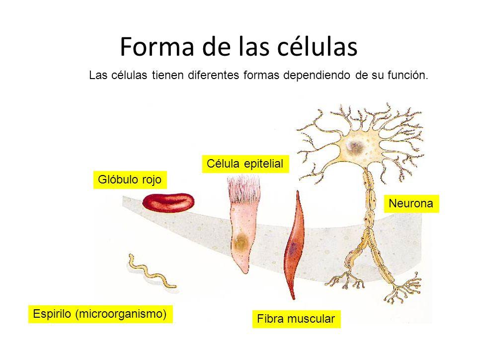 Forma de las células Las células tienen diferentes formas dependiendo de su función. Neurona Fibra muscular Célula epitelial Glóbulo rojo Espirilo (mi