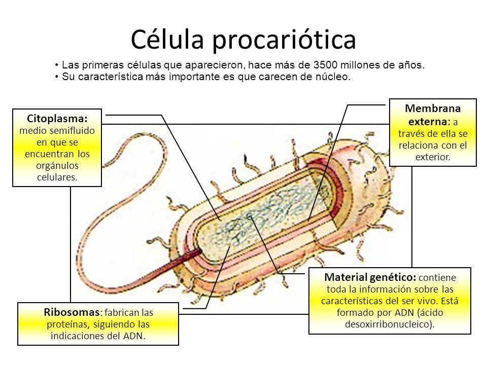 Célula procariótica Las primeras células que aparecieron, hace más de 3500 millones de años. Su característica más importante es que carecen de núcleo