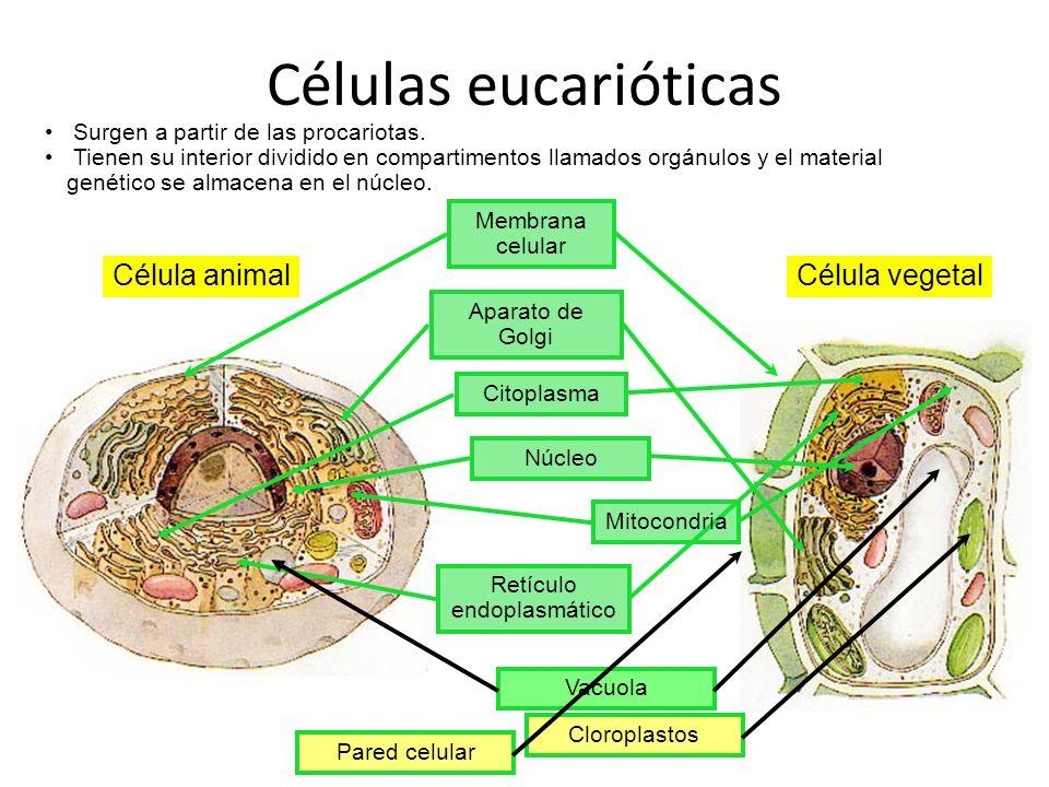 Células eucarióticas Célula animalCélula vegetal Membrana celular Aparato de Golgi CitoplasmaNúcleo Vacuola Cloroplastos Surgen a partir de las procar
