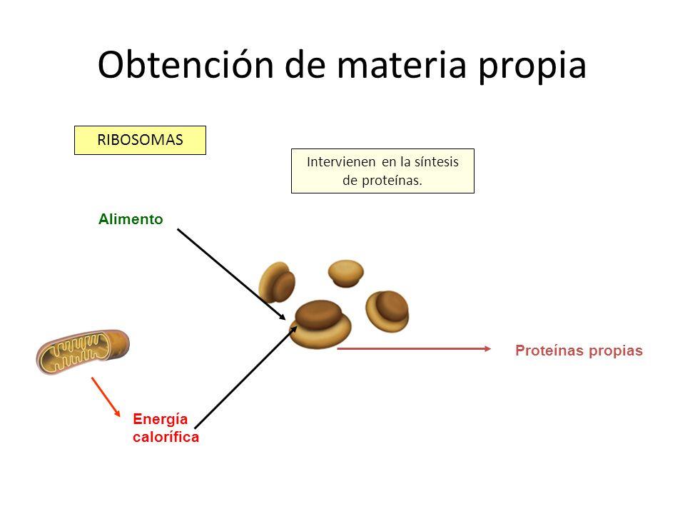 Obtención de materia propia RIBOSOMAS Intervienen en la síntesis de proteínas. Energía calorífica Alimento Proteínas propias