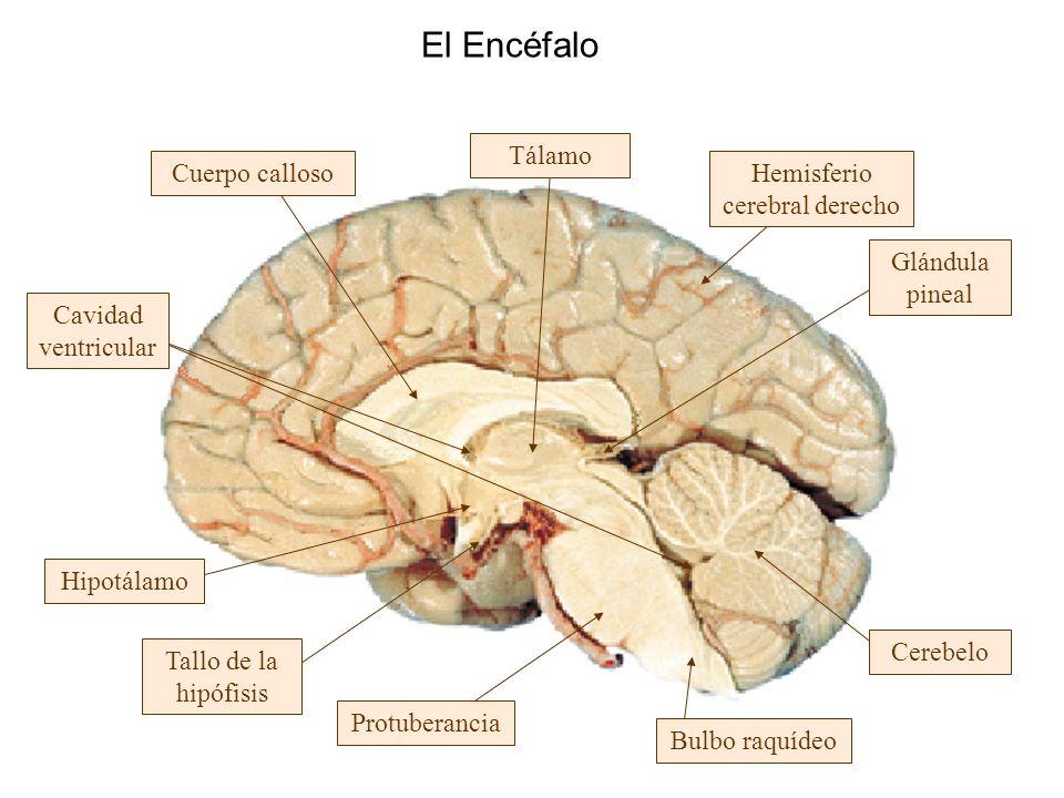 El Encéfalo Protuberancia Tallo de la hipófisis Hipotálamo Cavidad ventricular Cuerpo calloso Tálamo Bulbo raquídeo Cerebelo Glándula pineal Hemisferi