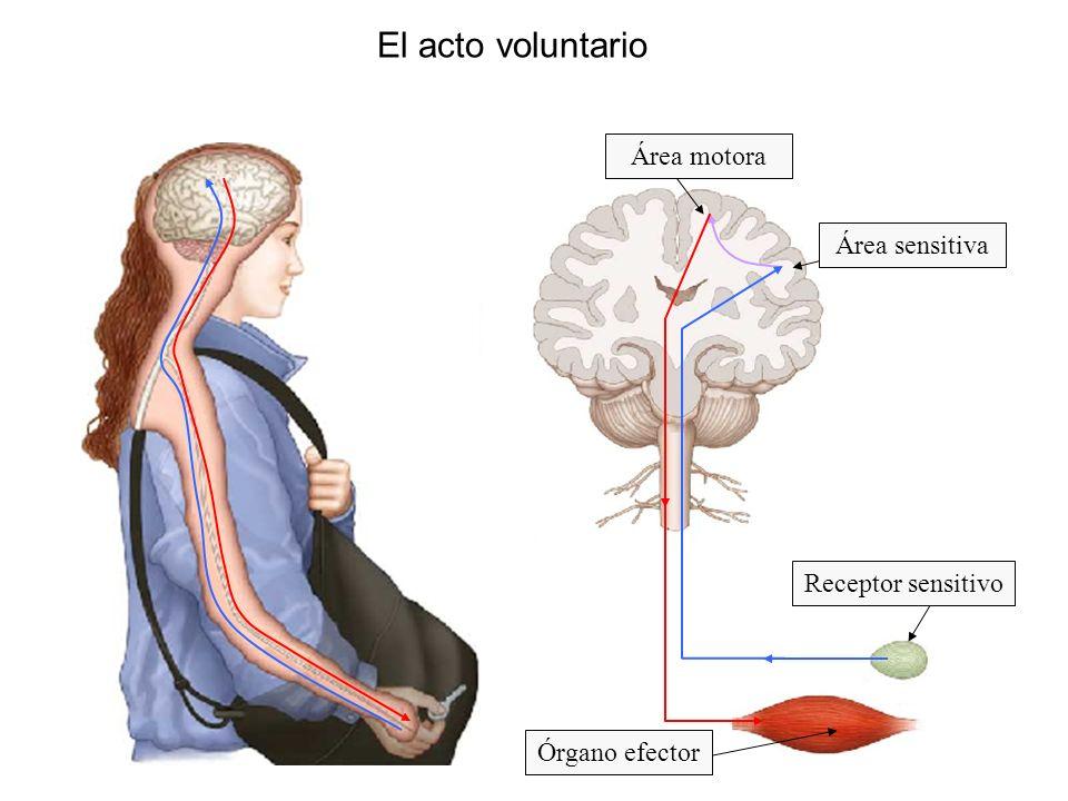 El acto voluntario Área sensitiva Área motora Órgano efector Receptor sensitivo