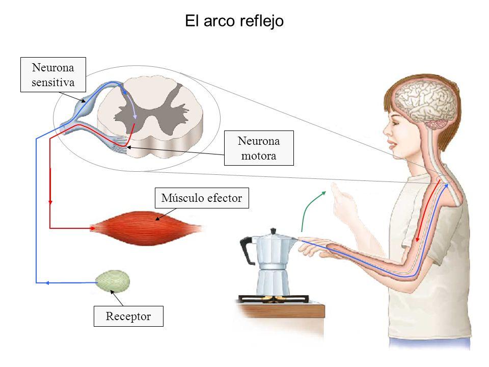 El arco reflejo Receptor Músculo efector Neurona sensitiva Neurona motora