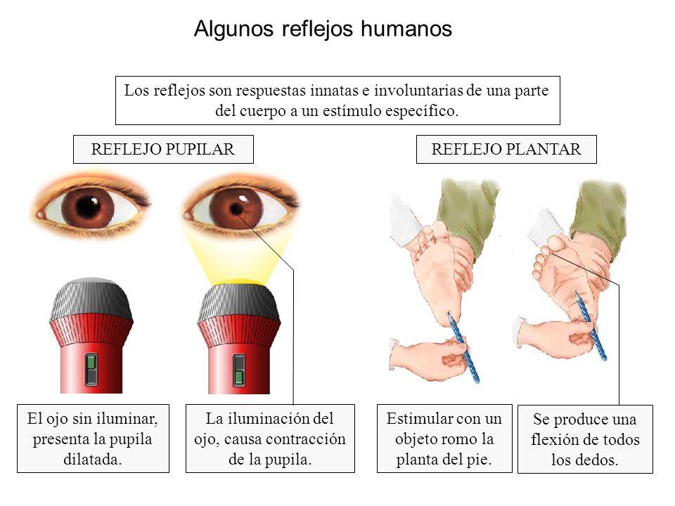 Algunos reflejos humanos Los reflejos son respuestas innatas e involuntarias de una parte del cuerpo a un estímulo específico. REFLEJO PLANTAR El ojo